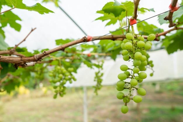 As uvas estão crescendo para venda aos consumidores. plantio orgânico sem produtos químicos nocivos.