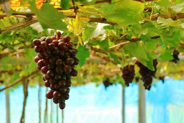 As uvas frescas das videiras no vinhedo. foco seletivo. conceito de fruta e agricultura.