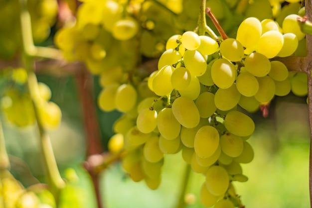 As uvas maduras penduram em um ramo de um vinhedo em um jardim no outono.