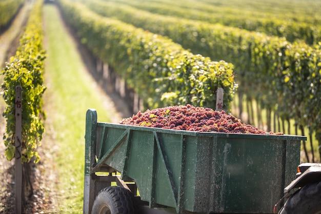 As uvas são colhidas no vinhedo e transportadas por um trator para a vinícola para posterior processamento em um vinho.