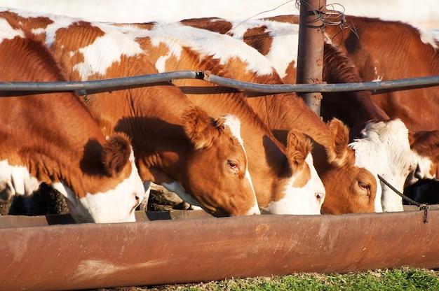 As vacas comem comedouros de silagem antes da ordenha noturna