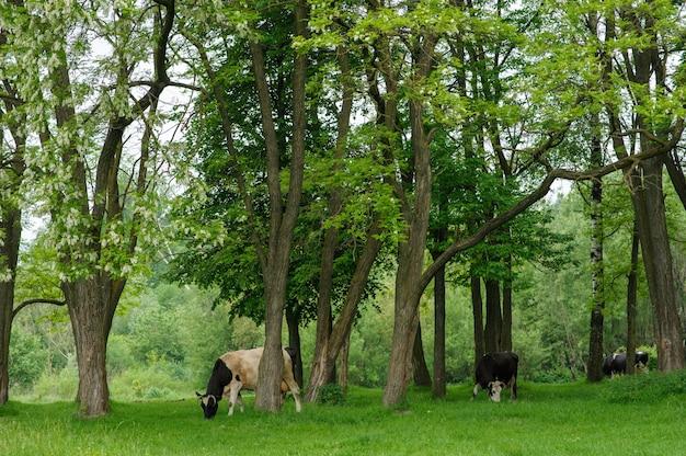 As vacas pastam livremente entre as árvores no prado.