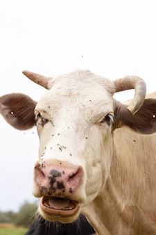 As vacas rurais pastam em um prado verde. vida rural. animais. país agrícola