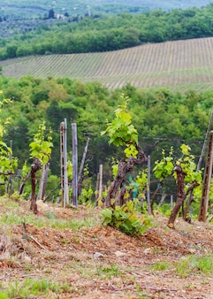 As vinhas de chianti.