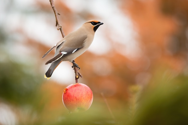 Asa de cera boêmio sentado em uma macieira no jardim
