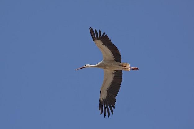 Asa de vôo da cegonha leste pássaro