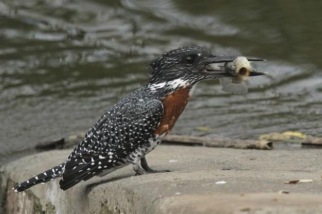 Asas de aves kingfisher penas gigantes