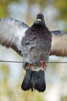 Asas de bater de pombo