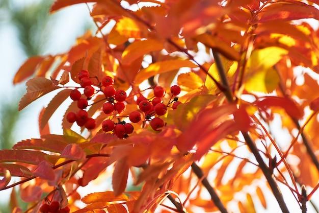 Ashberry vermelho na queda com as folhas amarelas no por do sol.