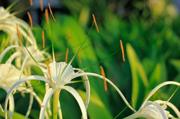 Asiaticum de crinum no jardim.