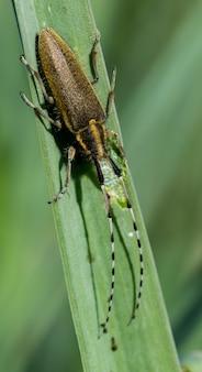 Asphodel longo besouro horned, agapanthia asphodeli, descansando em uma folha.