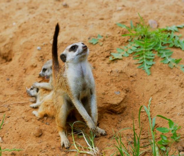 Assistindo pequeno suricate selvagem meerkat