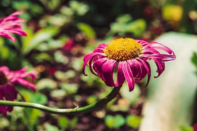 Aster bagunçado bonito confuso com solo em pétalas e pólen