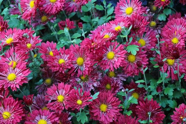 Ásteres cor de vinho em um jardim botânico de outono