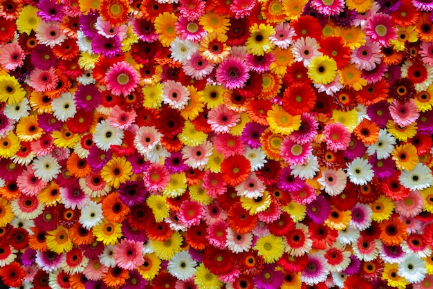 Ásteres vermelhos, rosa, amarelos e brancos. fundo floral