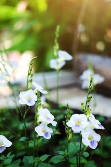 Asystasia gangetica flores com luz solar no jardim da natureza