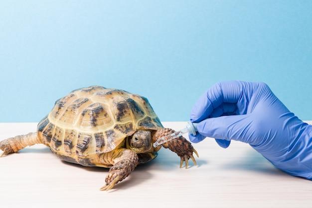 Aterrisse tartaruga da ásia central na recepção de um veterinário herpetologista