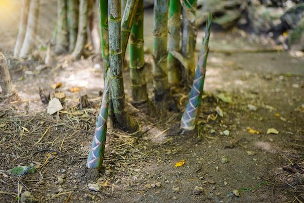Atirar de bambu