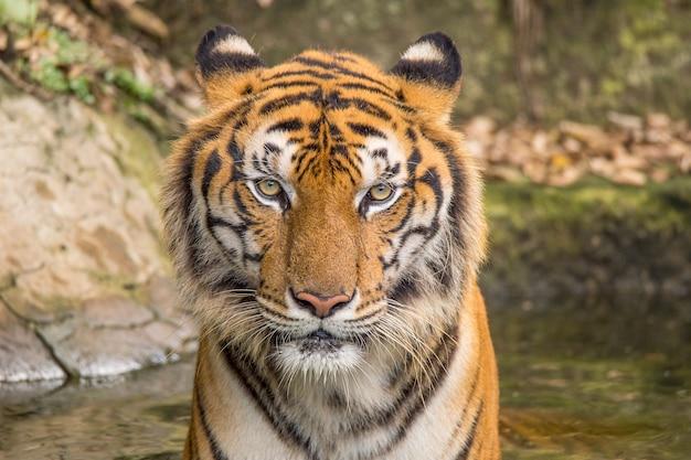 Atividades do tigre em um dia quente