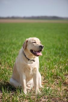 Ativo, sorriso e feliz cão labrador retriever puro-sangue ao ar livre no parque de grama em um dia ensolarado de verão.