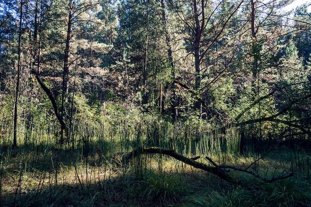 Atmosfera sombria na floresta de coníferas escuras.