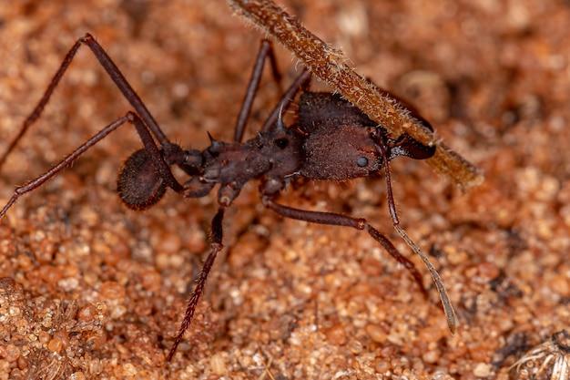 Atta formiga cortadeira do gênero atta