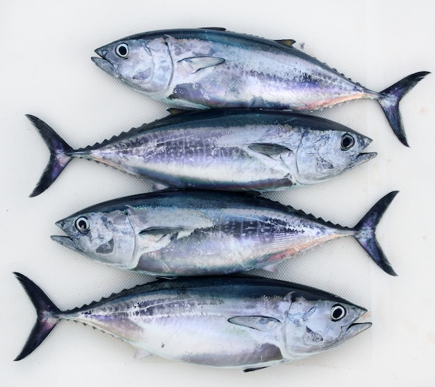 Atum rabilho quatro atum thunnus thynnus apanhar fileira