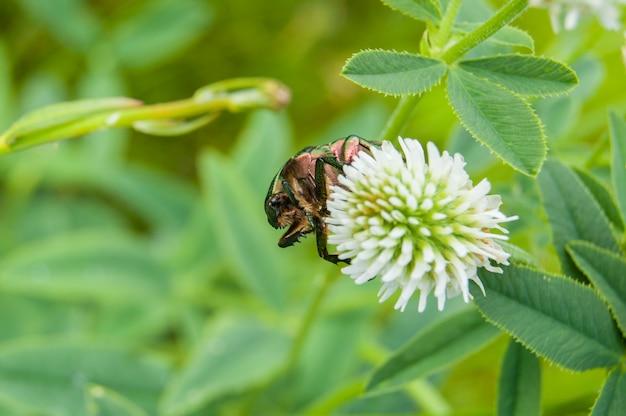 Aurata do cetonia em uma flor.