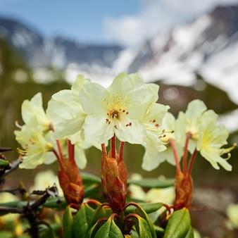 Aureum de rododendro de flor dourada de beleza no fundo das montanhas em um dia ensolarado