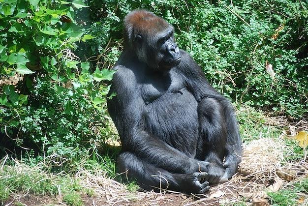 Austrália gorila werribee park