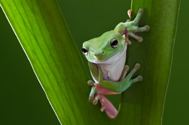 Australian green tree frog na folha