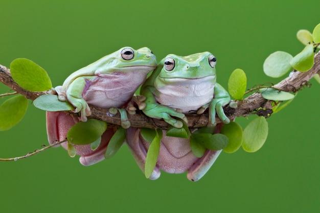Australian green tree frog no galho