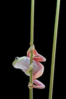 Australian green tree frog on stick