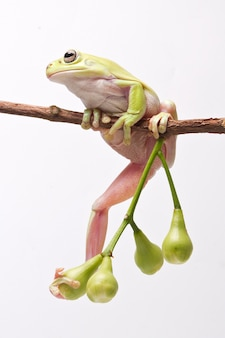 Australian green tree frog sobre fundo branco