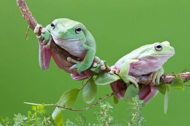 Australian green tree frog sobre fundo verde