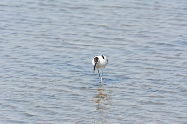 Ave aquática, vadeando, selvagem em um lago, alimentando-se à procura de pequenos crustáceos recurvirostra avosetta Foto Premium