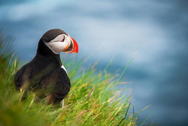 Ave marinho selvagem do papagaio-do-mar da família auk.