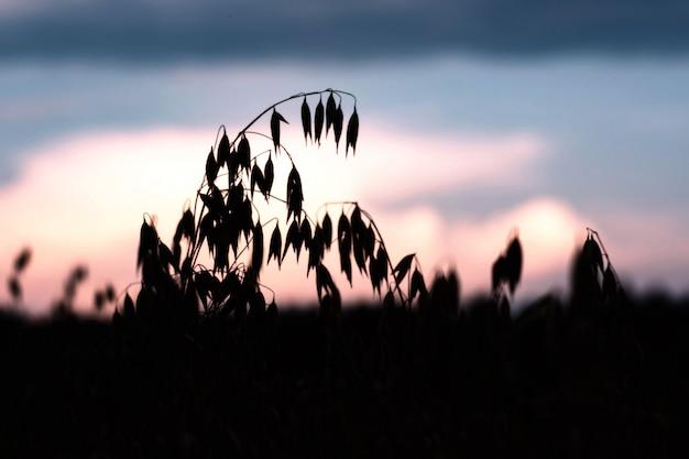 Aveia madura em um campo ao pôr do sol