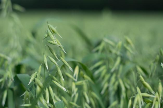 Aveia verde em um campo em um dia ensolarado de verão