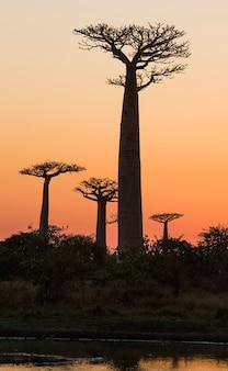 Avenida dos baobás ao pôr do sol em madagascar