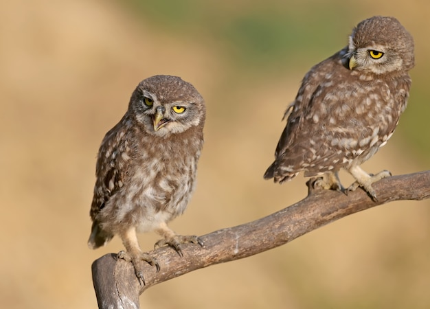 Aves adultas e pintinhos de coruja (athene noctua)