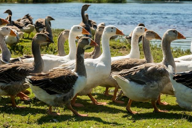 Aves aquáticas aves de capoeira perto de uma lagoa, gansos no verão ao ar livre
