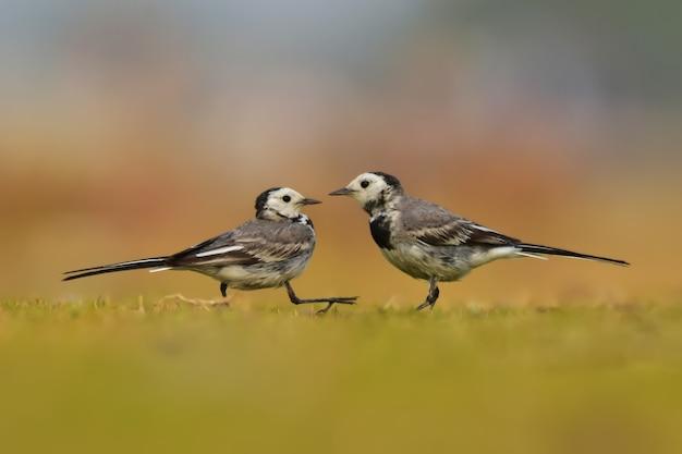 Aves de alvéola-branca na natureza.