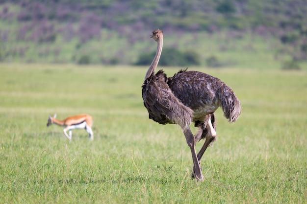 Aves de avestruz pastam em um prado no interior do quênia