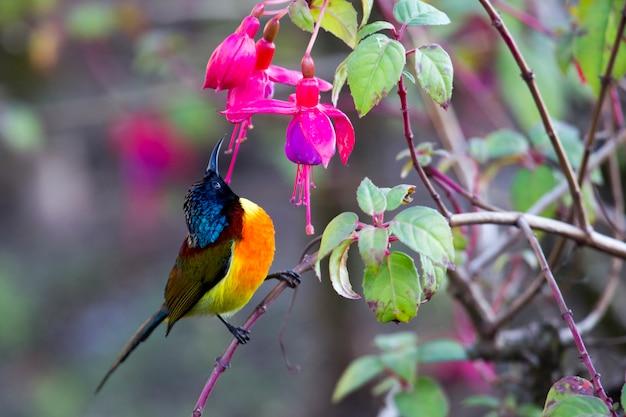 Aves de beija-flor-de-cauda-verde da tailândia