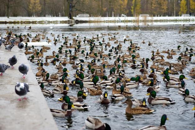 Aves de pato no lago no inverno