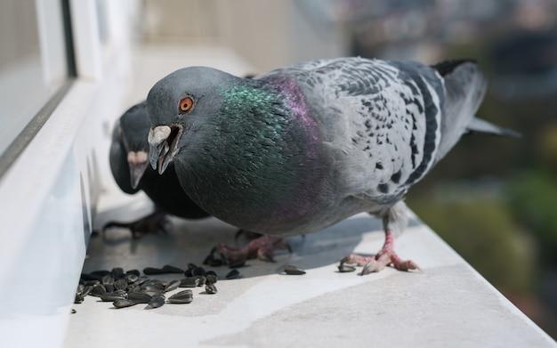 Aves de pombo selvagem comendo sementes de girassol no peitoril da janela