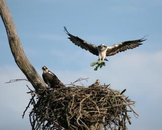 Aves de rapina, pássaros silvestres