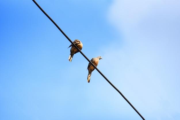 Aves em fios e fundo de céu azul - zebra dove
