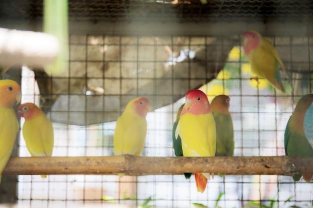 Aves em gaiola.